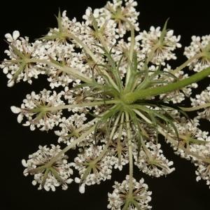 Photographie n°273850 du taxon Daucus carota subsp. carota