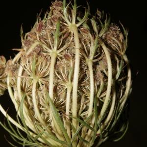 Photographie n°273851 du taxon Daucus carota subsp. carota