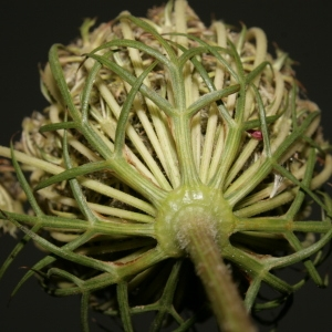Photographie n°273852 du taxon Daucus carota subsp. carota