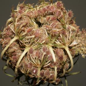 Photographie n°273853 du taxon Daucus carota subsp. carota