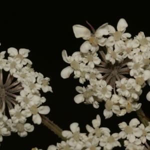 Photographie n°273854 du taxon Daucus carota subsp. carota
