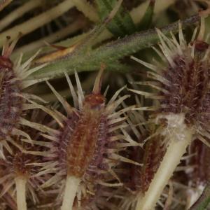 Photographie n°273859 du taxon Daucus carota subsp. carota