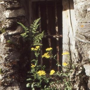 - Senecio leucanthemifolius subsp. vernalis (Waldst. & Kit.) Greuter [2003]