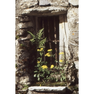 Senecio vernalis Waldst. & Kit. (Séneçon de printemps)
