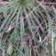 Florent Beck - Plantago coronopus L.