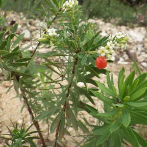 Photographie n°274084 du taxon Daphne gnidium L. [1753]