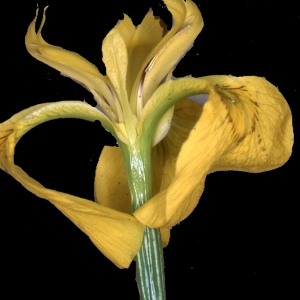 Photographie n°274246 du taxon Iris pseudacorus L. [1753]