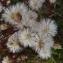 Ans Gorter - Tripolium pannonicum (Jacq.) Dobrocz.
