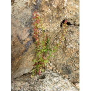 Reseda phyteuma L. var. phyteuma (Réséda raiponce)