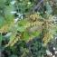 Marie-France Petibon - Quercus ilex L.