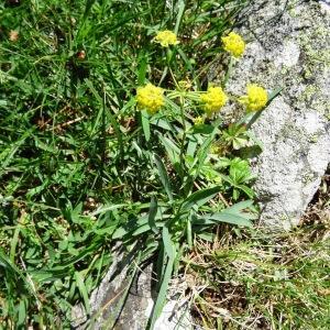 Photographie n°274617 du taxon Bupleurum ranunculoides subsp. ranunculoides