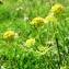 Alain Bigou - Bupleurum ranunculoides subsp. ranunculoides