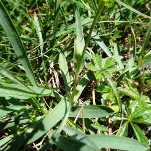 Photographie n°274620 du taxon Bupleurum ranunculoides subsp. ranunculoides