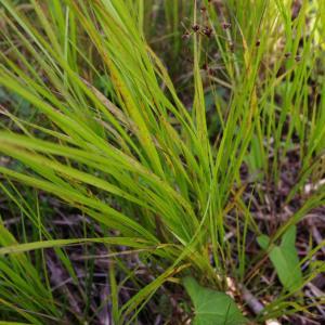 Photographie n°274655 du taxon Calamagrostis canescens (Weber) Roth [1789]