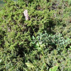 Photographie n°274671 du taxon Bistorta officinalis Delarbre