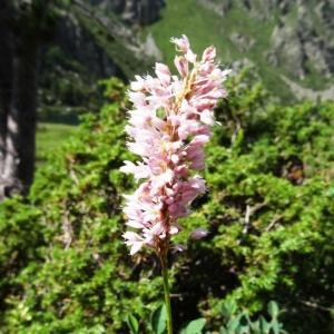 Photographie n°274672 du taxon Bistorta officinalis Delarbre