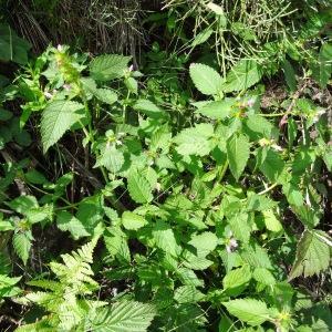 Photographie n°274695 du taxon Galeopsis tetrahit L.