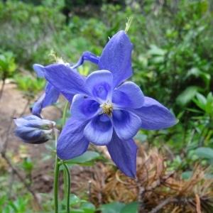Photographie n°274704 du taxon Aquilegia vulgaris subsp. vulgaris