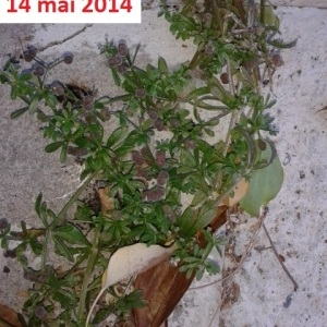 Photographie n°274972 du taxon Gaillet grateron
