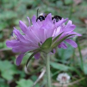 Photographie n°275054 du taxon Knautia maxima (Opiz) J.Ortmann [1842]