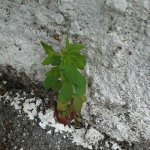 Photographie n°275067 du taxon Euphorbia peplus L. [1753]