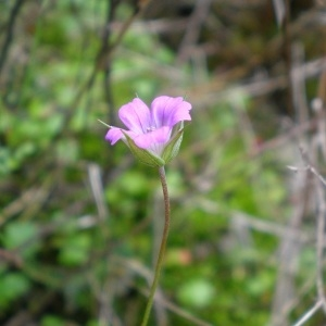 Photographie n°275232 du taxon Geranium columbinum L.
