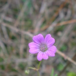 Photographie n°275233 du taxon Geranium columbinum L.