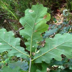 Photographie n°275444 du taxon Quercus robur var. robur
