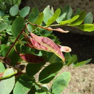 Photographie n°275455 du taxon Robinia pseudoacacia L.