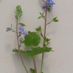 Photographie n°275460 du taxon Veronica chamaedrys L. [1753]