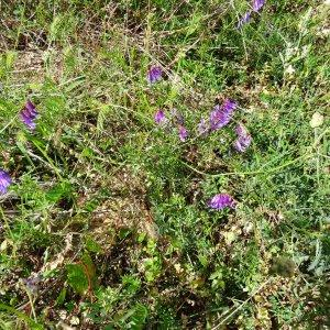 Photographie n°275553 du taxon Vicia cracca L. [1753]