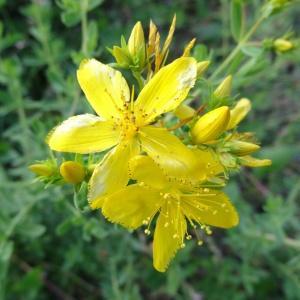 Photographie n°275557 du taxon Hypericum humifusum L. [1753]