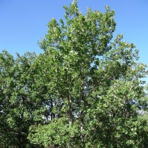 Photographie n°275560 du taxon Quercus pubescens subsp. pubescens