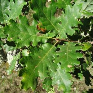 Photographie n°275561 du taxon Quercus pubescens subsp. pubescens