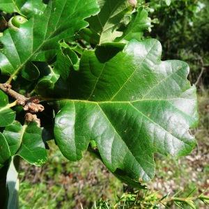 Photographie n°275566 du taxon Quercus pubescens subsp. pubescens