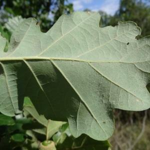 Photographie n°275567 du taxon Quercus pubescens subsp. pubescens