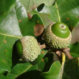 Photographie n°275568 du taxon Quercus pubescens subsp. pubescens