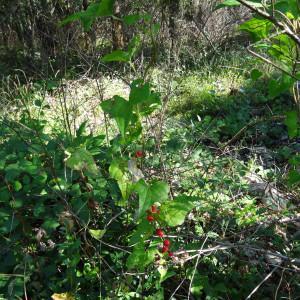 - Origanum vulgare subsp. vulgare