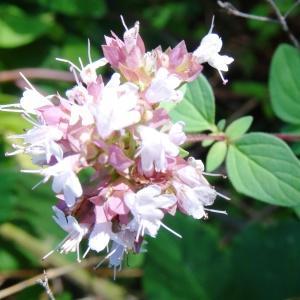Photographie n°275637 du taxon Origanum vulgare subsp. vulgare