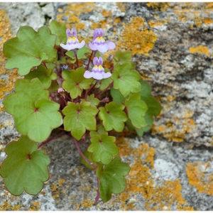 Photographie n°275735 du taxon Cymbalaire des murailles