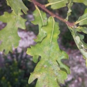 Photographie n°275789 du taxon Quercus robur L. [1753]