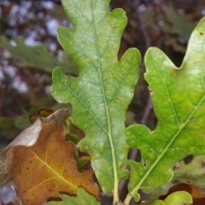 Photographie n°275790 du taxon Quercus robur L. [1753]