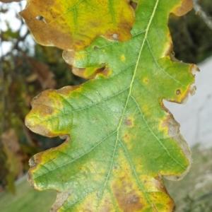 Photographie n°275791 du taxon Quercus robur L. [1753]