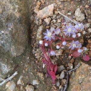 Photographie n°275902 du taxon Sedum caeruleum L. [1771]