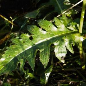 Photographie n°275933 du taxon Cirsium oleraceum (L.) Scop. [1769]