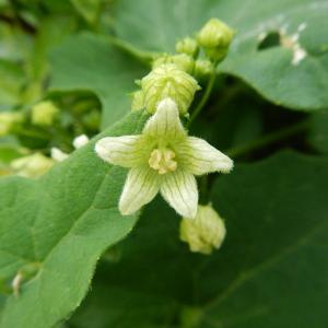 Bryonia dioica Jacq. (Bryone dioïque)