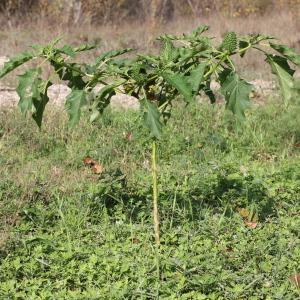 - Datura stramonium f. stramonium