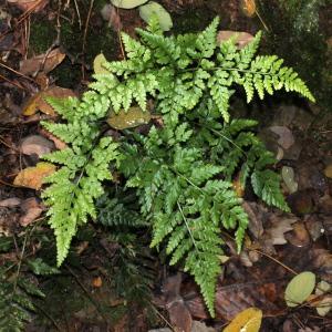 Photographie n°276074 du taxon Asplenium adiantum-nigrum L.