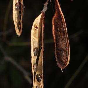 Photographie n°276092 du taxon Robinia pseudoacacia L.