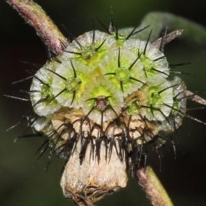 Photographie n°276119 du taxon Scabiosa triandra L.